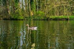 Oie sur un lac photographie stock libre de droits