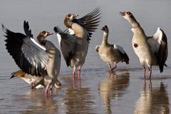 Oies égyptiennes - Botswana Photo stock