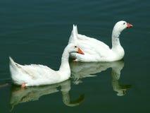 Oies accouplées Photo stock