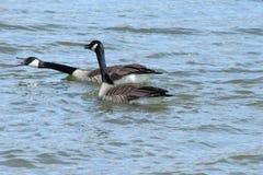Oies agressives de Canada Photographie stock
