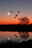 Oies au coucher du soleil Photos stock