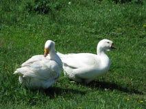 Oies blanches à la maison Photographie stock libre de droits
