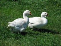 Oies blanches à la maison Photo libre de droits