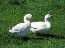 Oies blanches à la maison Images libres de droits