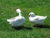 Oies blanches à la maison Photos libres de droits