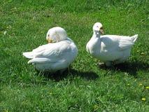Oies blanches à la maison Image libre de droits