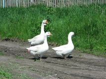Oies blanches à la maison Photographie stock