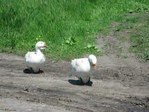 Oies blanches à la maison Photo stock