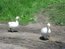Oies blanches à la maison Images stock