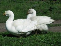 Oies blanches à la maison Photos stock