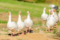 Oies blanches Photographie stock libre de droits