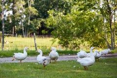 Oies blanches Images libres de droits