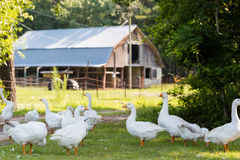 Oies blanches Photos stock