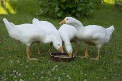 Oies blanches Photos libres de droits