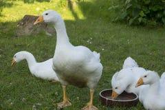 Oies blanches Image libre de droits