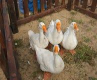 Oies blanches avec les becs jaunes dans un corral en bois Photo stock