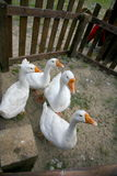 Oies blanches avec les becs jaunes dans un corral en bois Photos libres de droits