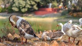 Oies blanches chinoises domestiques images libres de droits