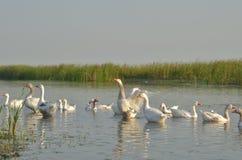 Oies blanches dans l'étang Image libre de droits