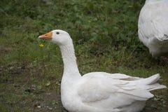 Oies blanches dans la cour Images stock