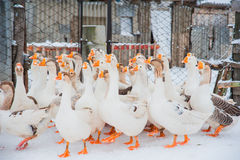 Oies blanches dans la neige Photo libre de droits