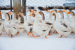 Oies blanches dans la neige Photographie stock