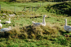 Oies blanches dans le pré Photographie stock