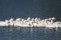 Oies blanches et canards nageant sur l'eau bleue en été Photographie stock libre de droits