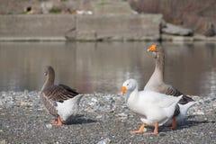 Oies blanches et grises à la bouche de la rivière Entella - Chiavari - Italie Photographie stock