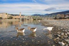 Oies blanches et grises à la bouche de la rivière Entella - Chiavari - Italie Photos libres de droits