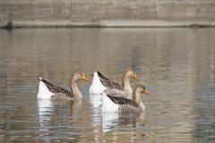 Oies blanches et grises à la bouche de la rivière Entella - Chiavari - Italie Photo stock