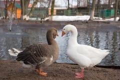 Oies blanches et grises Image stock
