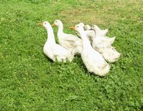 Oies blanches frôlant à la ferme Photo libre de droits