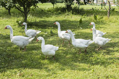 Oies blanches frôlant dans le jardin Image stock