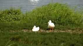 Oies blanches près d'un étang banque de vidéos