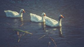 Oies blanches sur l'étang, filtré Photographie stock