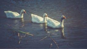 Oies blanches sur l'étang, filtré Photos stock
