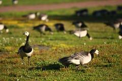 Oies canadiennes Image libre de droits