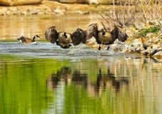 Oies canadiennes Photos libres de droits