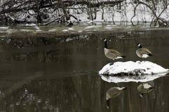 Oies canadiennes Images libres de droits