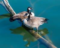 Oies canadiennes appareillant sur un rondin submergé Photographie stock libre de droits