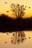 Oies canadiennes au coucher du soleil photos stock