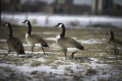 Oies canadiennes chez Belle Isle During Winter image libre de droits