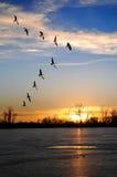 Oies canadiennes dans la formation de V Image libre de droits