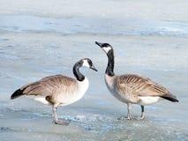 Oies canadiennes de Thornhill glace en mars 2010 Photographie stock libre de droits