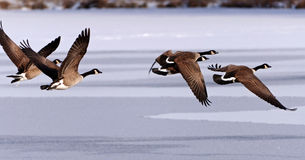 Oies canadiennes effectuant le vol au-dessus d'un lac figé Images stock