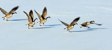 Oies canadiennes effectuant le vol au-dessus d'un lac figé Images libres de droits