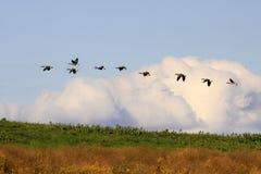 Oies canadiennes en vol Photo libre de droits