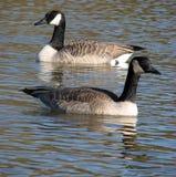 Oies canadiennes nageant Image libre de droits