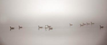 Oies canadiennes nageant en brouillard lourd Image libre de droits